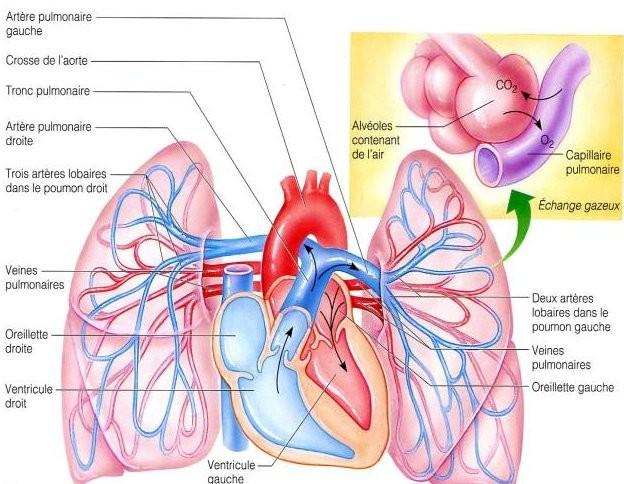 Le Manuel du Resident Radio-diagnostique Coeur et Poumon Coeur_poumon_petite_circulation1